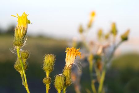 lemmer: Hypochaeris in bloom in Lemmer, Netherlands. Stock Photo