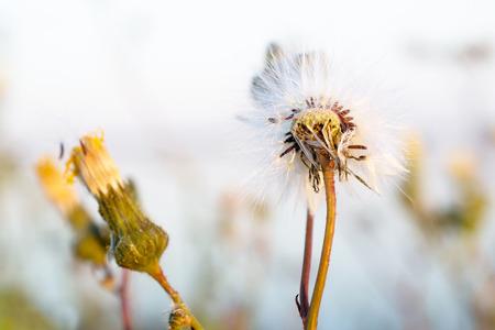 lemmer: Hypochaeris in bloom with seeds in Lemmer, Netherlands.