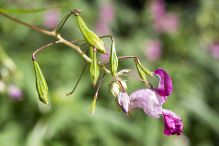 impatiens: jump balsam, Himalayan balsam, Impatiens glandulifera, annual, bloom, flower, plant, close-up, inflorescence, leaves, nature, summer flower, colorful, close up, botanical, isolated, horizontal, detail, macro, nobody, wildflower, perennial, ovules, bud, pe