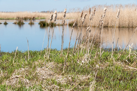 squire: Marsh Landscape in nature wetland Green Jonker at Nieuwkoop lakes in the Netherlands. Stock Photo
