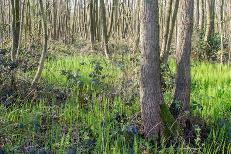 equisetum: Forest with Horsetail in De Horsten estate in Wassenaar, Netherlands. Stock Photo
