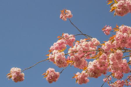 leidschendam: Prunus blossom in Leidschendam in the Netherlands. Stock Photo