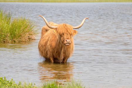 highlander: Scottish highlander in nature Lentevreugd Wassenaar, Netherlands.