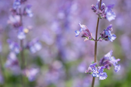 Nepeta cataria or catmint flowers. Stock Photo