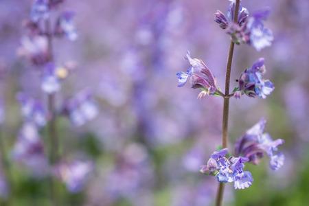 catnip: Nepeta cataria or catmint flowers. Stock Photo
