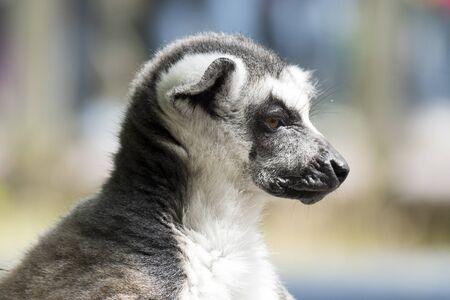 monkies: Ring-tailed lemur monkey in The Apenheul in Apeldoorn, Netherlands. Stock Photo
