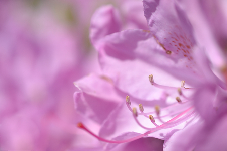 zoomed in: Pistil and stamen of the Rhododendron flower. Stock Photo