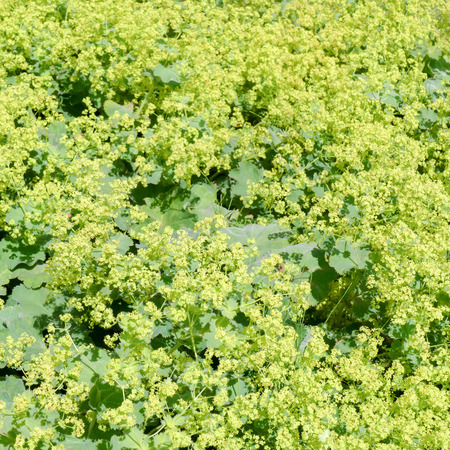 alchemilla: Flowers of a blossoming ladys mantle or Alchemilla mollis. Stock Photo