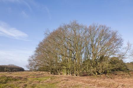 Oak tree in the Amsterdam water abstraction dunes in De Zilk in The Netherlands.
