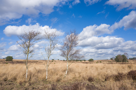 Birch trees on the heath in Elspeet Netherlands. Stock Photo