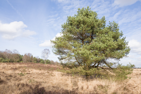 pinus sylvestris: Pine tree on the heath in Elspeet in the Netherlands. Stock Photo