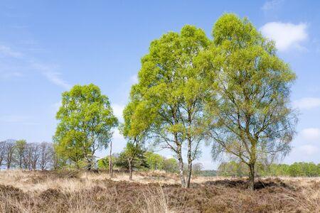 Birch trees in the National Park Hoge Veluwe, Netherlands.