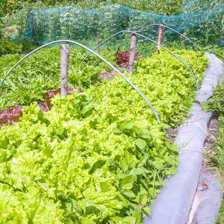 Lettuces in the organic vegetable garden The Groentenhof in Leidschendam, the Netherlands.