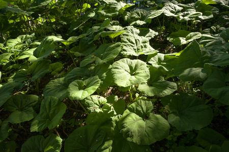 petasites hybridus: Butterbur plants in Leidschendam, The Netherlands.