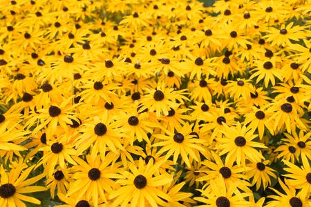 Rubeckia, or Goldsturm flowers in Voorschoten, Netherlands..