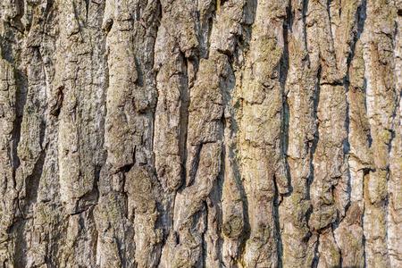 Oak tree bark in park Duivenvoorde in Voorschoten, Netherlands.