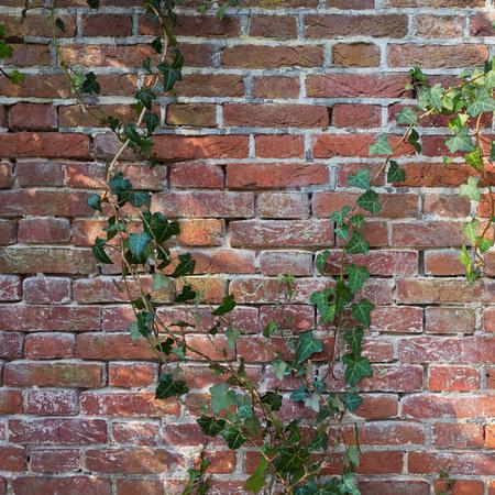Old wall with ivy plants in Duivenvoorde in Voorschoten, Netherlands.