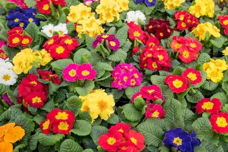 Primula plants at De Bosrand garden center in Wassenaar, Netherlands. Reklamní fotografie