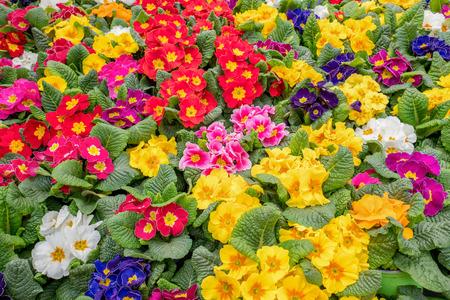 Primula plants in De Bosrand garden center in Wassenaar, Netherlands.