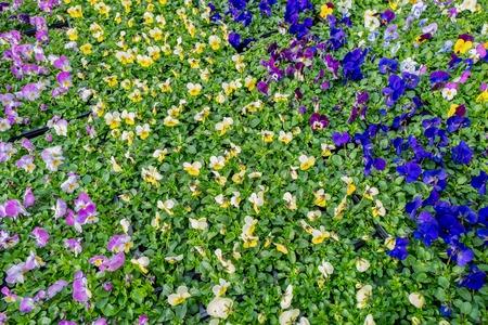 Viola plants at De Bosrand garden center in Wassenaar, Netherlands.