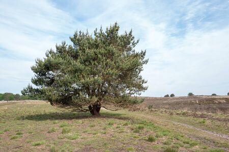Pine tree in a landscape.