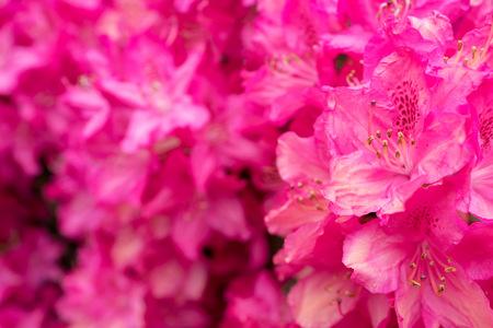 Rhododendron flowers in close-up at The Horsten estate in Wassenaar in the Netherlands. Reklamní fotografie