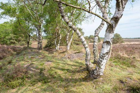 Birch tree on the heath in Elspeet Netherlands.