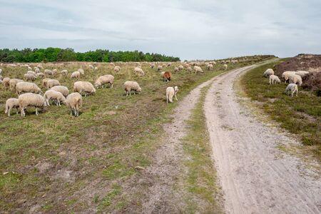 Sheeps on the elspeter heath in Elspeet, Netherlands. Reklamní fotografie