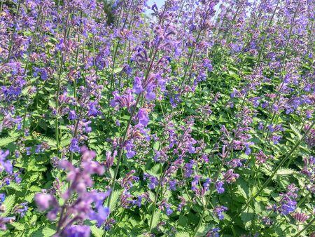 Agastache Blue Fortune or Giant Hysso plants flowering in Duivenvoorde, Voorschoten, Netherlands.