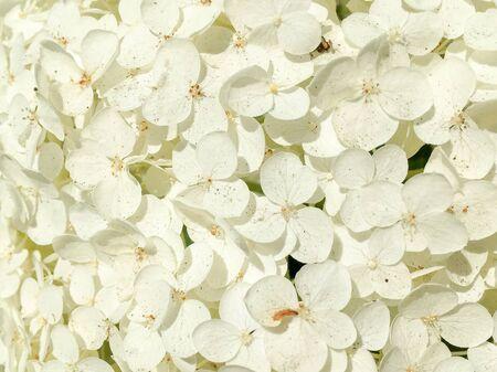 Hydrangea flowers in close-up in Wassenaar in the Netherlands. Banco de Imagens