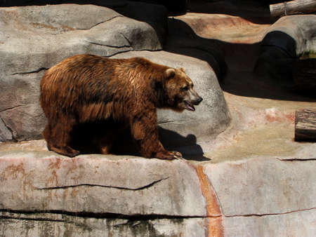 Bored Grizzly Bear Posing on Rocks in Michigan Stock Photo