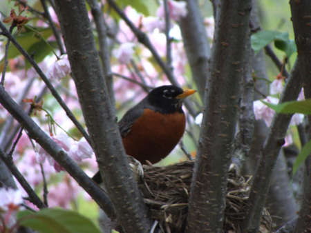nesting: Red Robin Nesting in Michigan Stock Photo