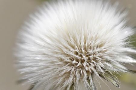A dandelion seed macro shot