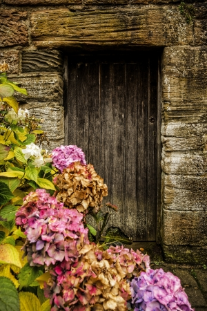 door leaf: Antique wooden door and pink hortensia