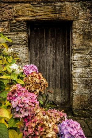 Antique wooden door and pink hortensia Stock Photo - 18005006