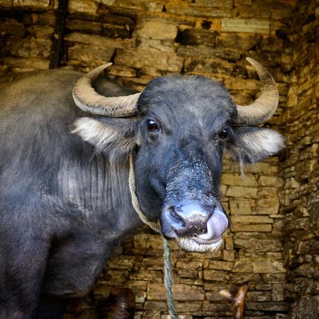 water buffalo: Nepalese buffalo licking its own nose Stock Photo