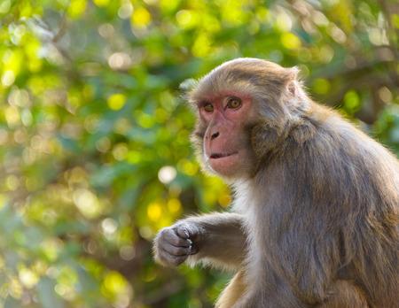 Macaque monkey in Kathmandu, Nepal photo