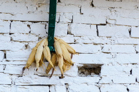 drying corn cobs: Corn drying against a white wall in Nepal