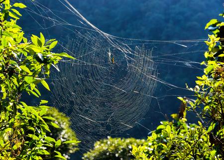 golden orb weaver: Tessitore dorato del globo ragno sul suo web in Nepal