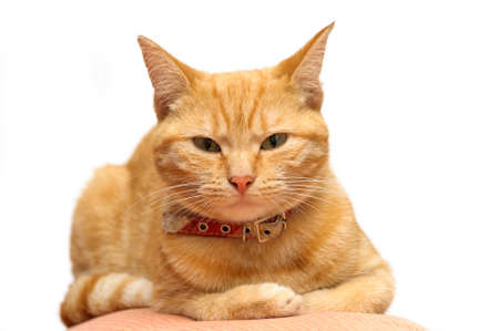 contented: Ginger cat looking at the camera Stock Photo