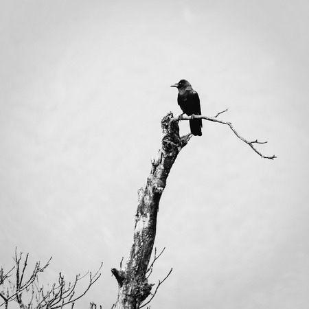 A crow bird on a dead tree photo