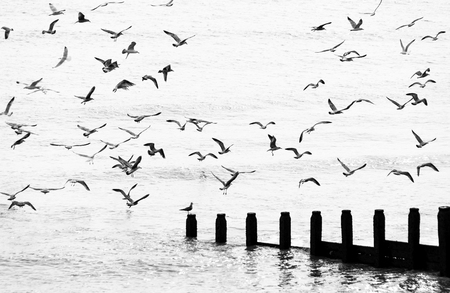 Seagulls flying in black and white photo