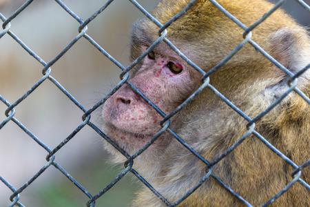 captive: Captive macaque monkey