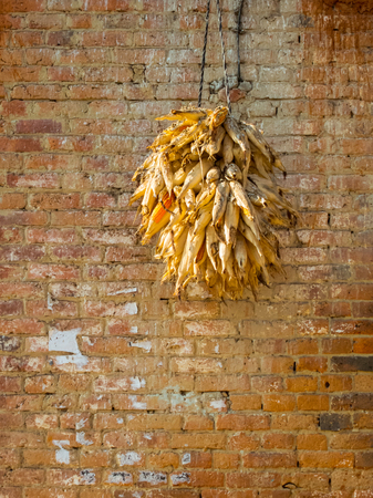 drying corn cobs: Corncobs drying against a brick wall in Nepal