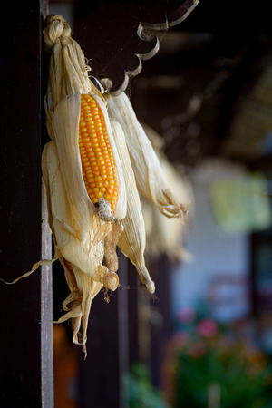 drying corn cobs: Hanged corncobs drying in rural Nepal Stock Photo