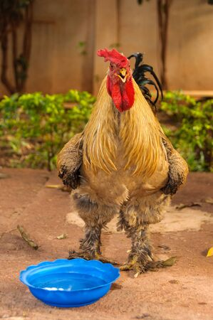 farmyard: A rooster with water in a blue bassin in a farmyard, in Mali, Africa