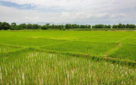 grain fields: Rice paddy fields in the Dang valley in Terai, Nepal