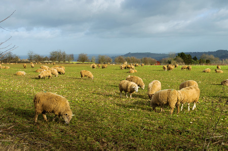 ruminants: Sheep in a field in winter in the Cotswolds, England, UK