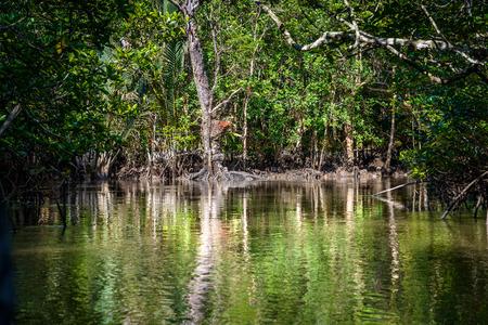 mangrove forest: Mangrove on Bintan Island in Indonesia