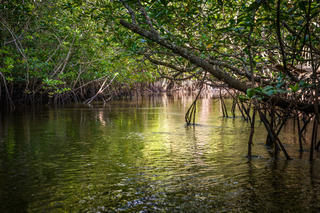 wetland conservation: Mangrove on Bintan Island in Indonesia